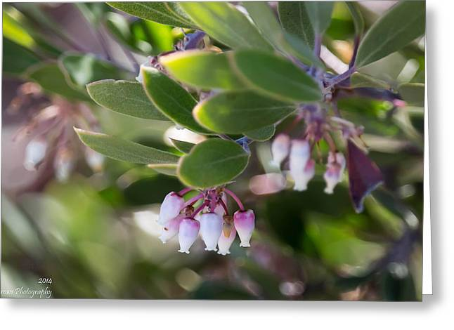 Prescott Greeting Cards - Manzanita Buds Greeting Card by Aaron Burrows