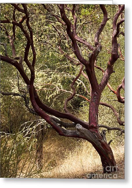 Calistoga Greeting Cards - Manzanita Tree Greeting Card by Suzanne Luft