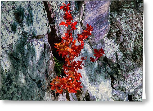 Growing From Rock Greeting Cards - Maple and Rock Greeting Card by Bob  Hundt