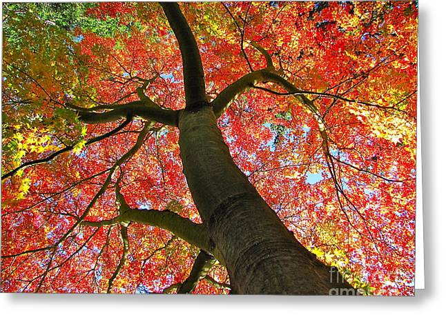 Sean Griffin Greeting Cards - Maple in Autumn Glory Greeting Card by Sean Griffin