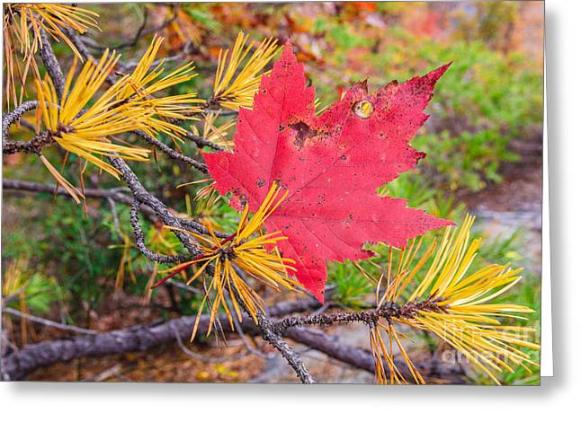 Pine Needles Greeting Cards - Maple in pine Greeting Card by Anthony Heflin