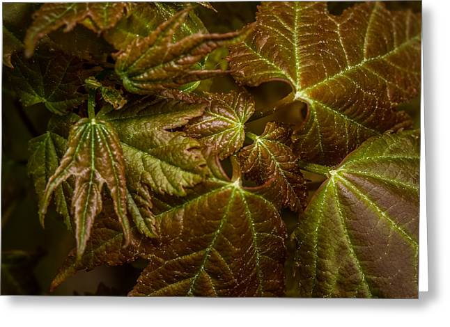 Minnesota Grown Photographs Greeting Cards - Maple Leaf Abstract Greeting Card by Paul Freidlund