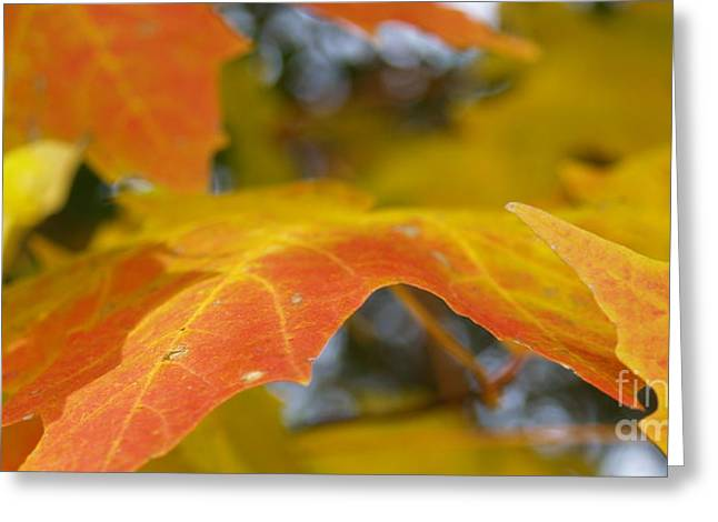 Norway Maple Greeting Cards - Maple Leaf Edges in Autumn Greeting Card by Anna Lisa Yoder