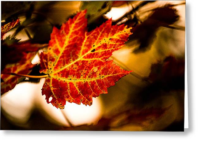 Jahred Allen Photography Greeting Cards - Maple Leaf Greeting Card by Jahred Allen