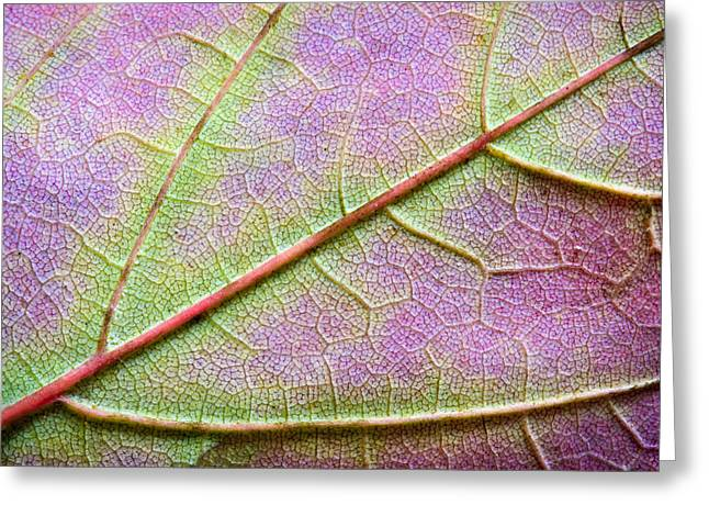 Maple Leaf Macro Greeting Card by Adam Romanowicz