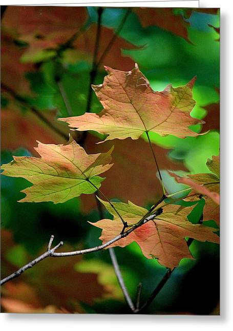 Maple Leaves In The Shadows Greeting Card by Rosanne Jordan