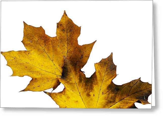 Raw Sienna Greeting Cards - Maple Leaves Montage No. 5 Greeting Card by The Forests Edge Photography - Diane Sandoval