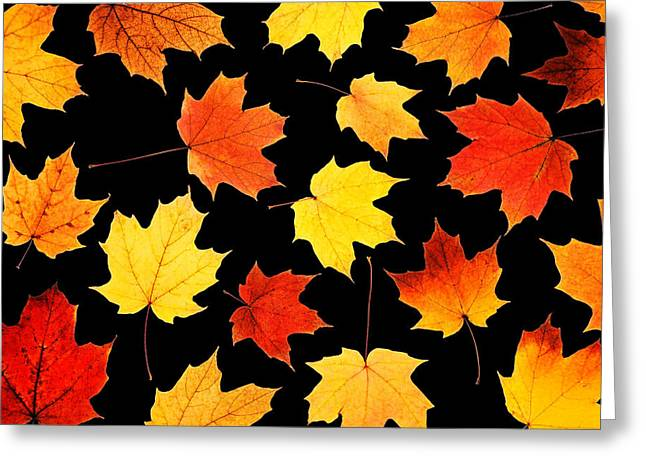 Leafs Greeting Cards - Maple Leaves On Black Greeting Card by Jim Hughes