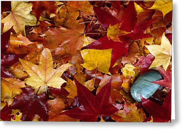Fallen Leaf Greeting Cards - Maple Leaves Greeting Card by Panoramic Images