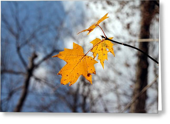 Indiana Autumn Greeting Cards - Maple On The Blue Greeting Card by Abril Gonzalez