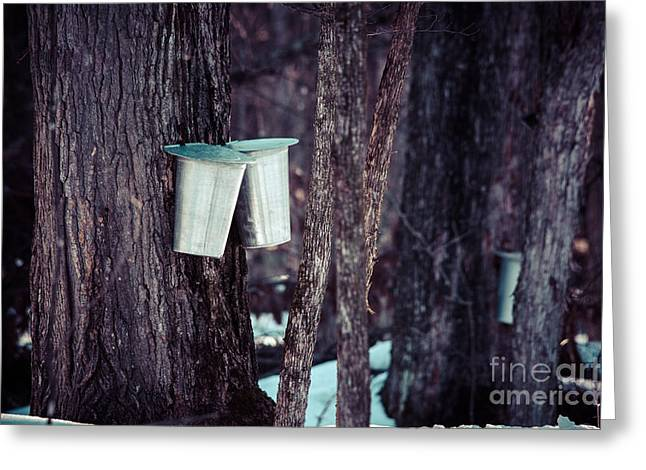 Sugaring Season Greeting Cards - Maple Sap Greeting Card by Cheryl Baxter