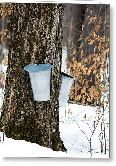 Sugaring Season Greeting Cards - Maple Sap Collection Greeting Card by Cheryl Baxter