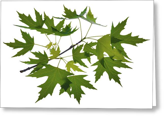Maple Photographs Greeting Cards - Maple Tree Branch Greeting Card by Panos Trivoulides