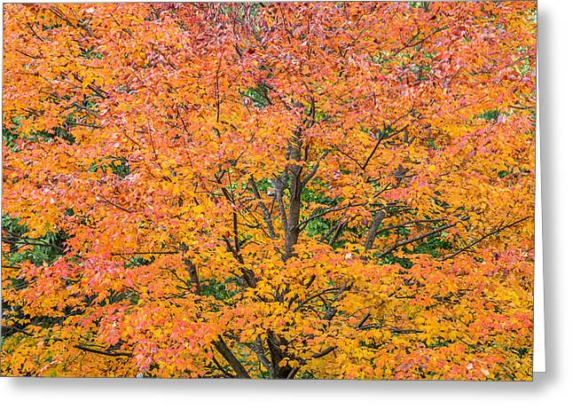 Maple Syrup Greeting Cards - Maple tree in Autumn Greeting Card by Pierre Leclerc Photography