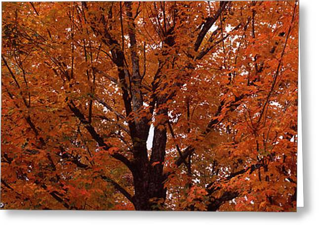 Fall Scenes Greeting Cards - Maple Tree In Autumn, Vermont, Usa Greeting Card by Panoramic Images