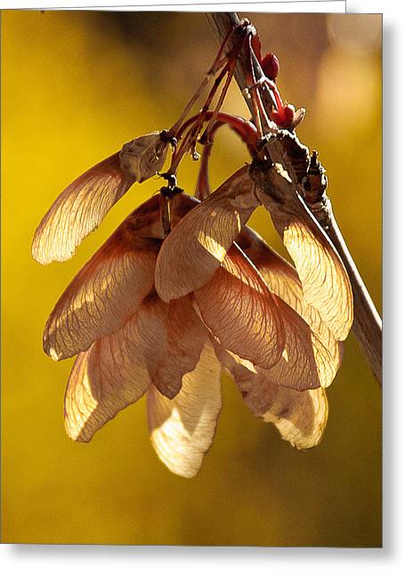"""spreading Tree"" Greeting Cards - Maple Tree Whirlybirds Greeting Card by Brett Haarmann"