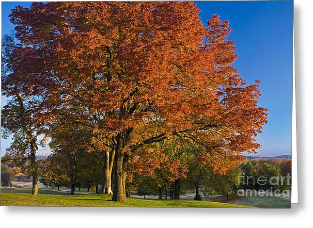 Turning Leaves Photographs Greeting Cards - Maple Trees Greeting Card by Brian Jannsen
