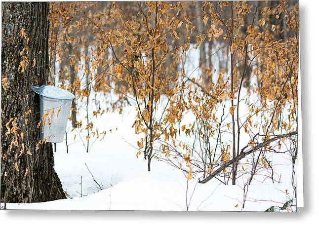 Sugaring Season Greeting Cards - Maple Woods Greeting Card by Cheryl Baxter