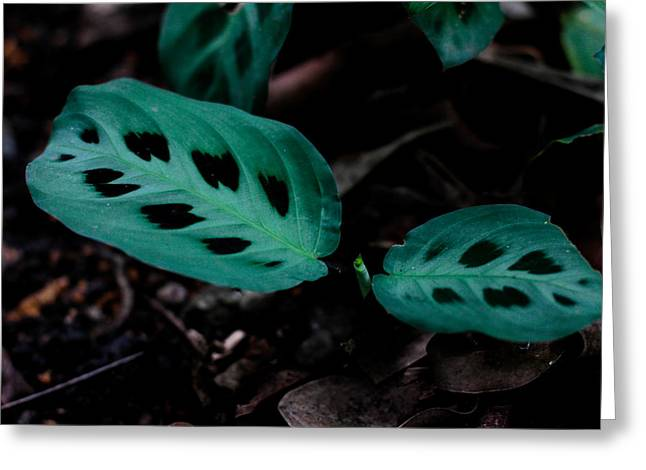 Donald Chen Greeting Cards - Maranta Leuconeura Greeting Card by Donald Chen