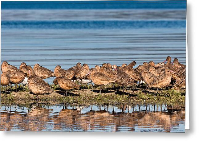 California Beaches Greeting Cards - Marbled Godwits Reflected Greeting Card by Kathleen Bishop
