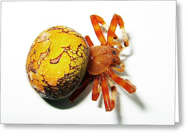 Marbled Orb Weaver Greeting Cards - Marbled Orb Weaver 1 Greeting Card by D Perez de la Garza