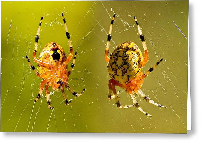 Marbled Orb Weaver Greeting Cards - Marbled Orb Weaver Spider Greeting Card by Michael Whitaker
