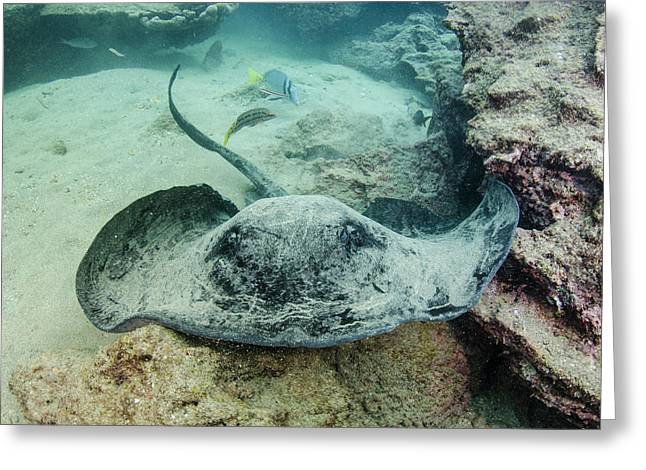 Marbled Ray (taeniura Meyeri Greeting Card by Pete Oxford