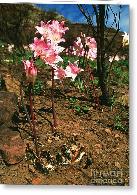 Cape Lily Greeting Cards - March Lilies Amaryllis Belladonna Greeting Card by Georgette Douwma