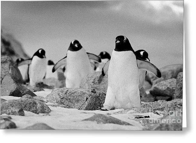 Snow Covered Ground Greeting Cards - March of Gentoo penguins Pygoscelis papua at Neko Harbour continent of Antarctica Greeting Card by Joe Fox