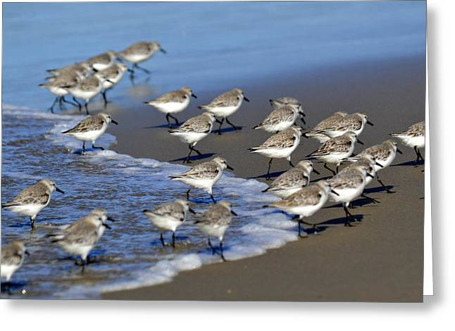Sandpipers Greeting Cards - March Of The Sandpipers Greeting Card by Fraida Gutovich