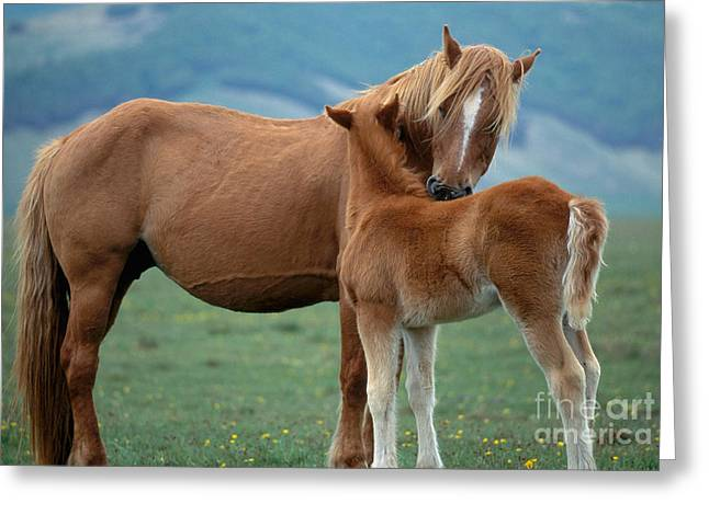 Mother And Young Greeting Cards - Mare With Foal Equus Sp Greeting Card by Kees Van Den Berg