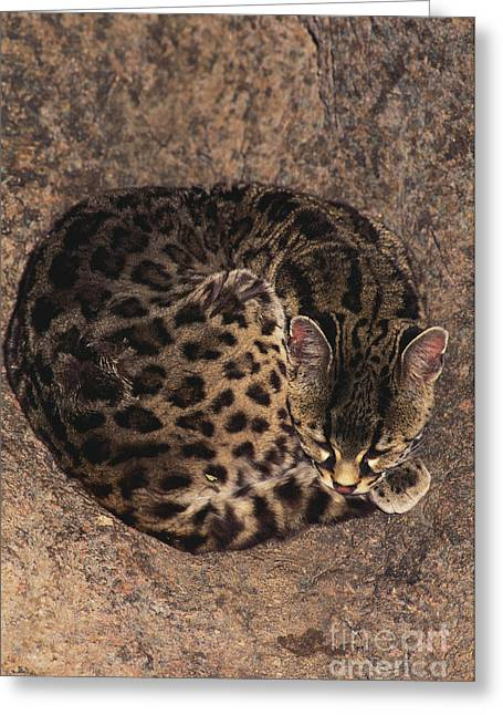 Resting Spot Greeting Cards - Margay Greeting Card by Art Wolfe