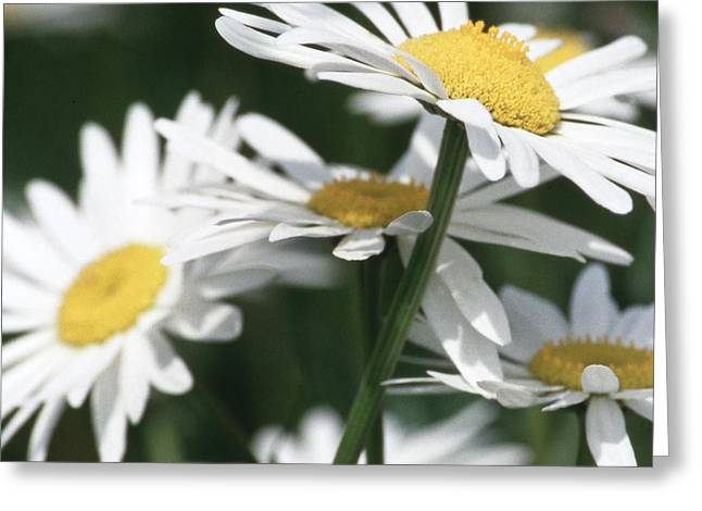 Marguerite Blossom Greeting Card by Heiko Koehrer-Wagner