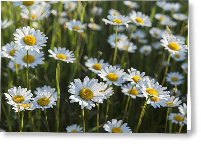 Sunlight On Flowers Greeting Cards - Marguerite _leucanthemum__ Black Greeting Card by Carl Bruemmer