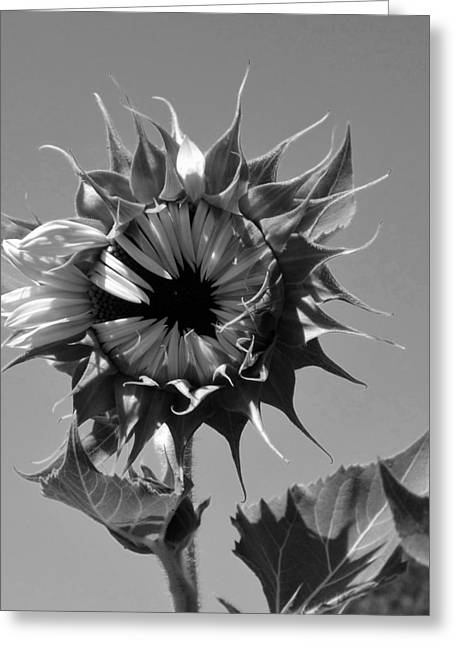 Blonde Hair Blowing In The Wind Greeting Cards - Marilyn bw Greeting Card by Elizabeth  Sullivan