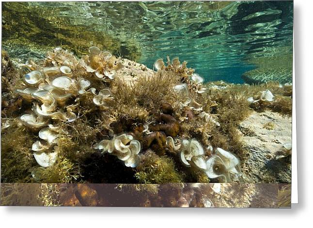 Marine algae Greeting Card by Science Photo Library