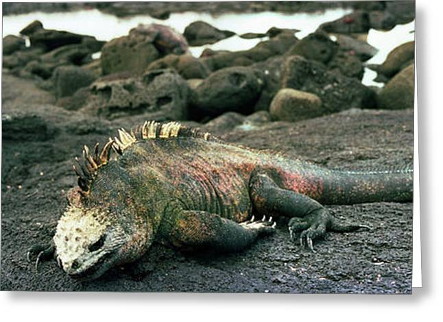 Aquatic Greeting Cards - Marine Iguana Galapagos Islands Greeting Card by Panoramic Images