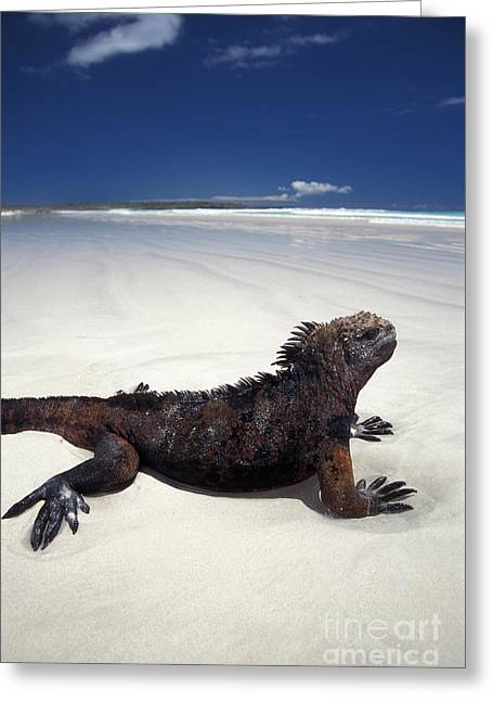 Galapagos Wildlife Greeting Cards - Marine Iguana Greeting Card by Mark Newman