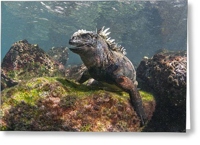 Marine Iguana Rabida Island Galapagos Greeting Card by Tui De Roy