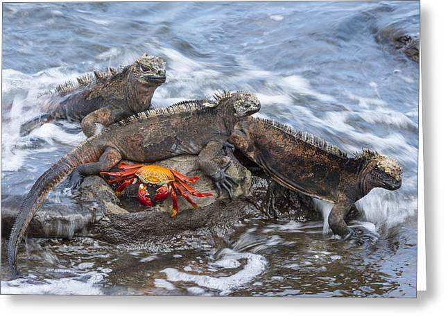 Marine Iguana Trio And Sally Lightfoot Greeting Card by Tui De Roy