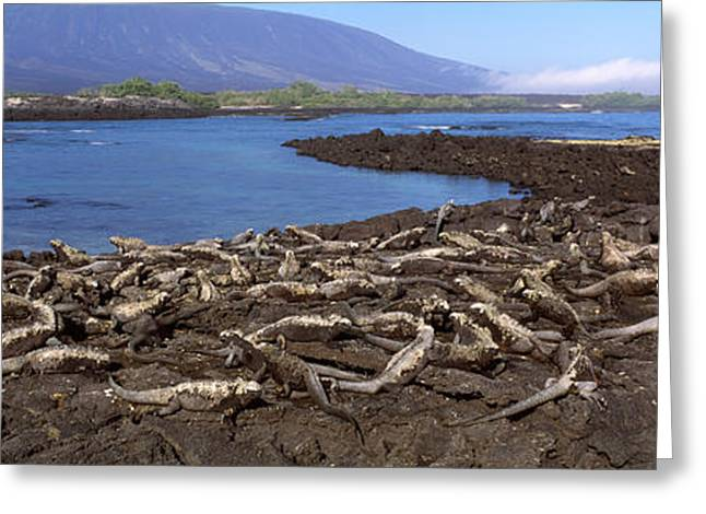 Marine Photography Greeting Cards - Marine Iguanas Amblyrhynchus Cristatus Greeting Card by Panoramic Images