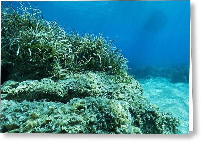 Marine plants Greeting Card by Science Photo Library