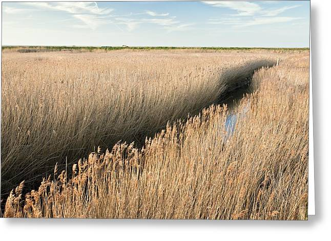 Reed Bed Greeting Cards - Marshland, UK Greeting Card by Science Photo Library