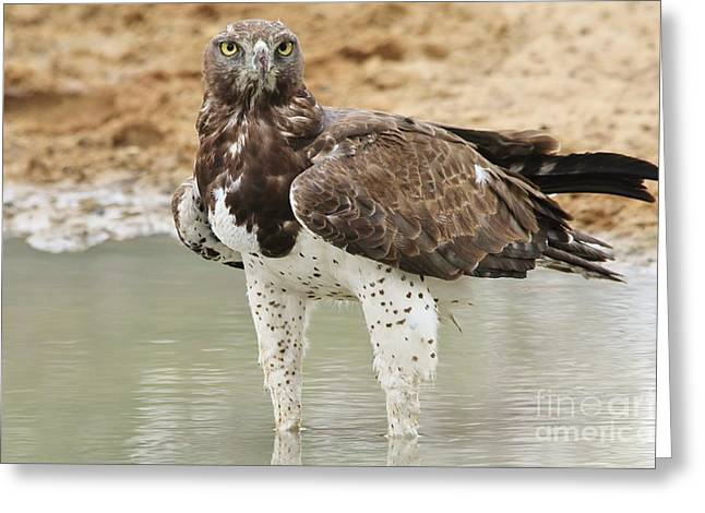 Martial Eagle Greeting Cards - Martial Eagle - Eyes of Focus Greeting Card by Hermanus A Alberts