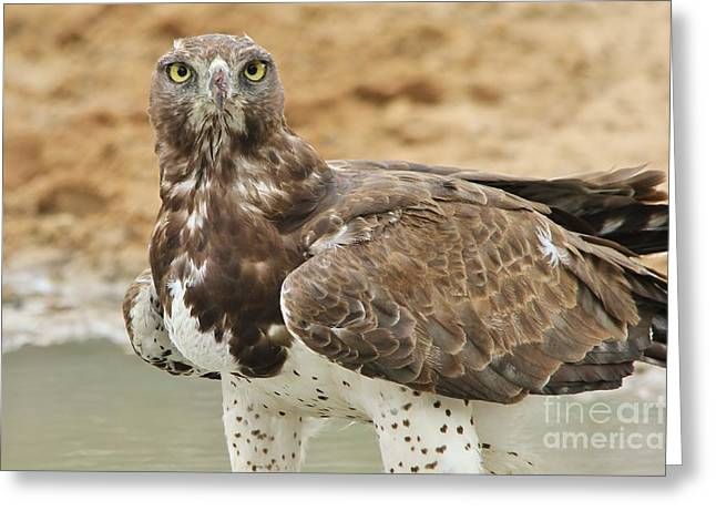 Martial Eagle Greeting Cards - Martial Eagle - Yellow Focus Greeting Card by Hermanus A Alberts