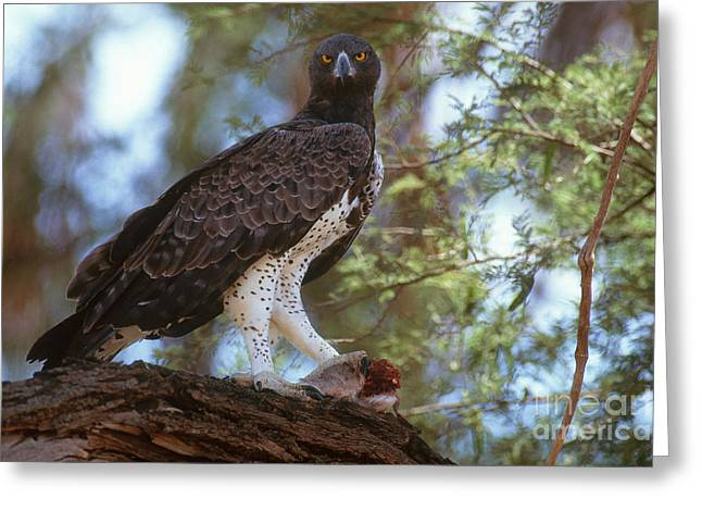 Martial Eagle Greeting Cards - Martial Eagle Greeting Card by Art Wolfe