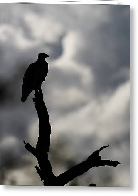 Martial Eagle Greeting Cards - Martial Eagle Greeting Card by Ben Adkison