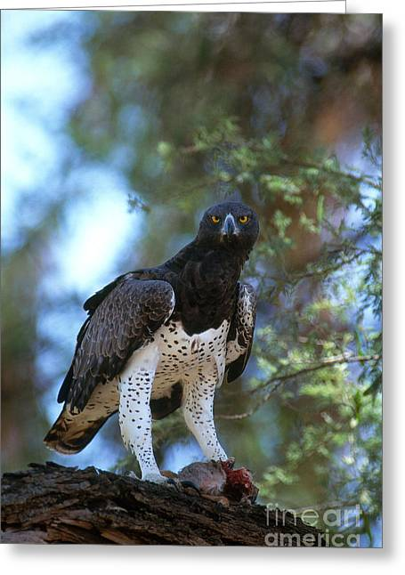 Martial Eagle Greeting Cards - Martial Eagle Eats Dik Dik Greeting Card by Gregory G. Dimijian, M.D.