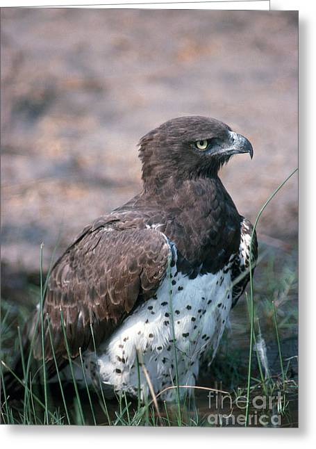 Martial Eagle Greeting Cards - Martial Eagle Greeting Card by Gregory G. Dimijian, M.D.