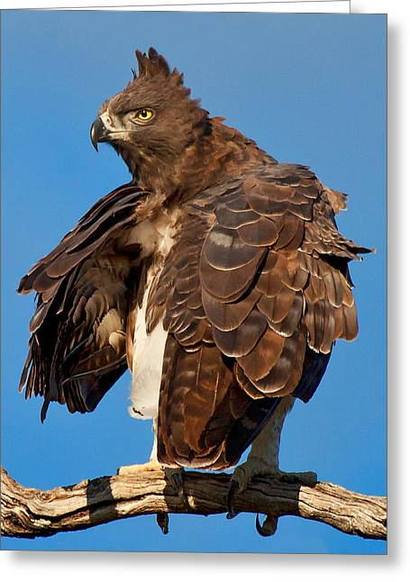 Martial Eagle Greeting Cards - Martial Eagle Greeting Card by John De Jager